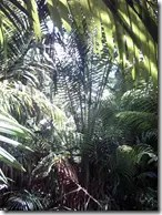 Sago Palm in the wild