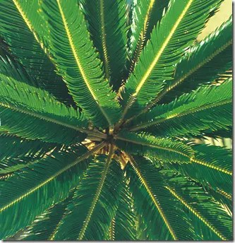 Sago Palm tree branches and leaves