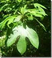Sassafras tree leaves (one shape of three possible shapes)