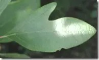 A Sassafras tree leaf (one of three possible shapes)