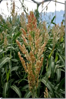Sorghum grain head