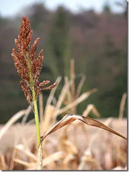 Mature Sorghum grain head
