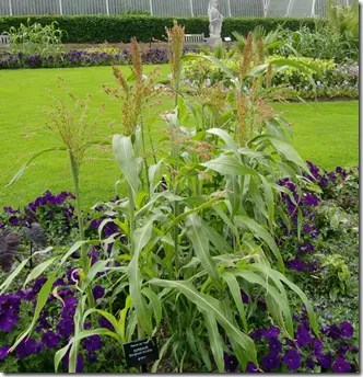 Cultivated Sorghum plants