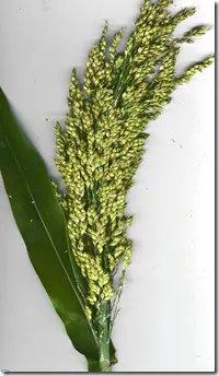 Sorghum leaf and grain head