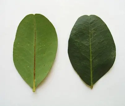Carob tree leaves (front and back)