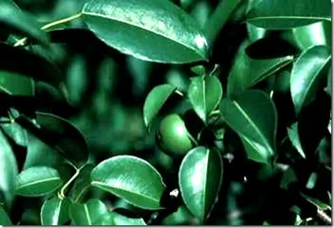 Poisonous Manchineel plant leaves and berry