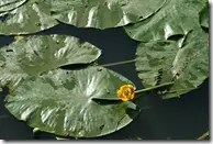 Spatterdock or Water Lily floating on pond with distinctive yellow flower