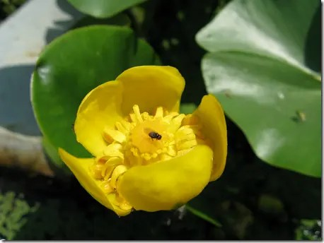 Spatterdock or Water Lily flower