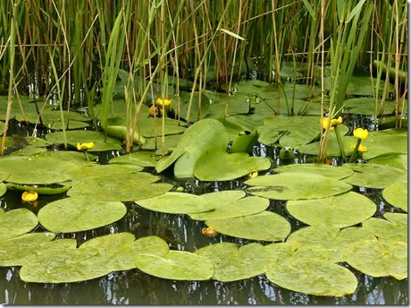 Spatterdock or Water Lily leaves floating on water
