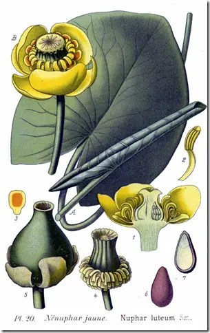 Color drawing of Spatterdock plant
