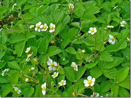 Patch of Strawberry plants showing leaves and white flowers