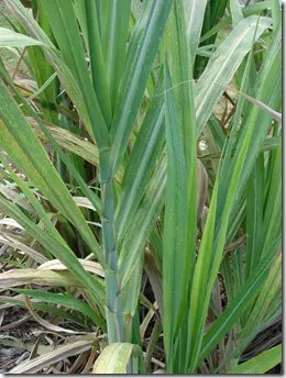 The base stem of a Sugarcane plant