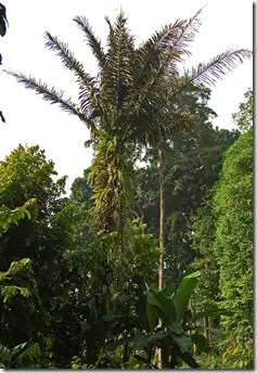 Sugar Palm tree in the wild