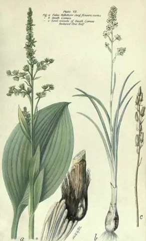 Drawing of the Death Camas plant illustrating the plant's leaves, stems, and bulb