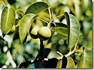 Manchineel seed pods