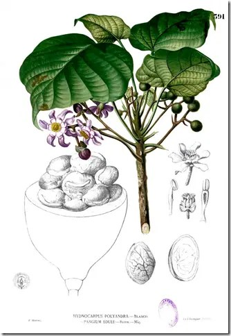 Drawing of Pangi Tree illustrating leaves, stems, flowers, fruit, and seeds