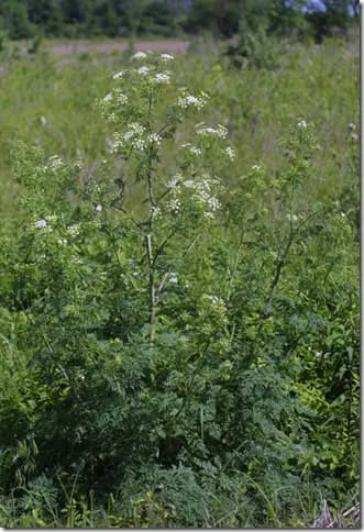 Poison Hemlock plant growing in the wild