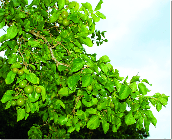 Strychnine Tree branch, leaves and berries