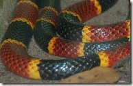 Close-up of Coral Snake bands
