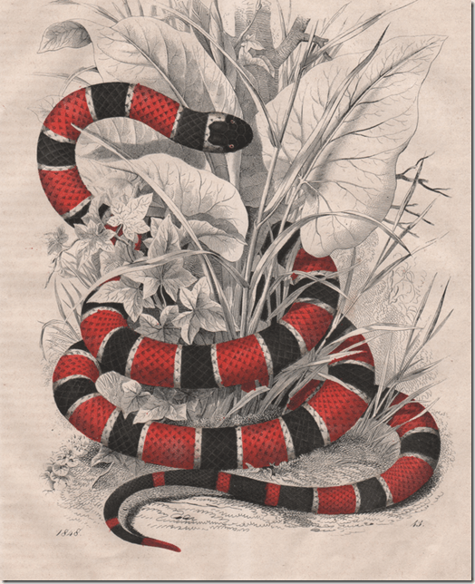Coral Snake Drawing