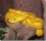 Eyelash pit vipers typically nest in trees waiting for prey