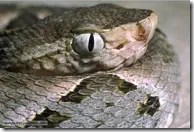 Fer-de-lance snout and eyes