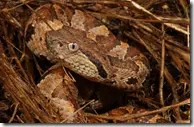 Jumping vipers have broad heads and small eyes