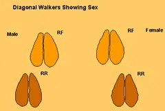 Determining the sex of a diagonal walker animal