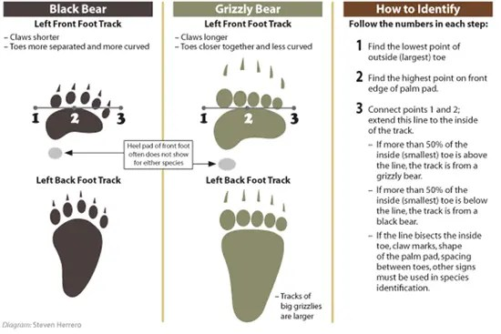 Black bear and grizzly bear track chart