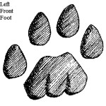 Mountain lion track - left front foot