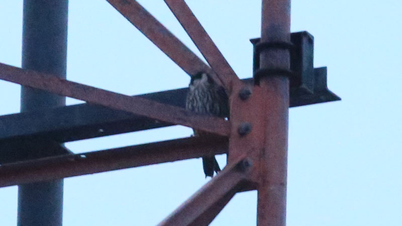 This Eurasian Hobby spent the night in this tower roost. We watched it go to bed in the evening and leave in the morning. Photo James Levison.