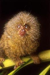 TransAmazon Expedition Pygmy Marmoset The Smallest Monkey on Earth