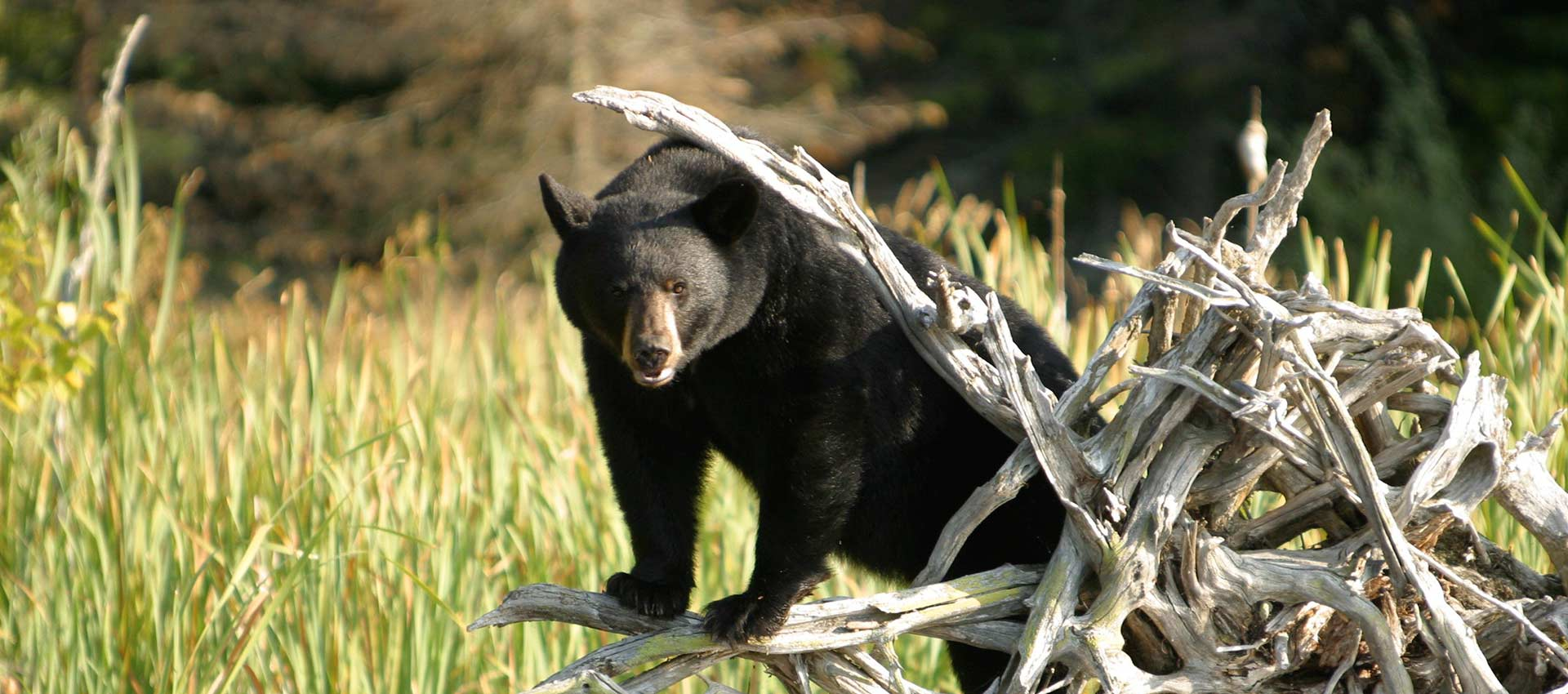 wildlife-photography-black-bear-header