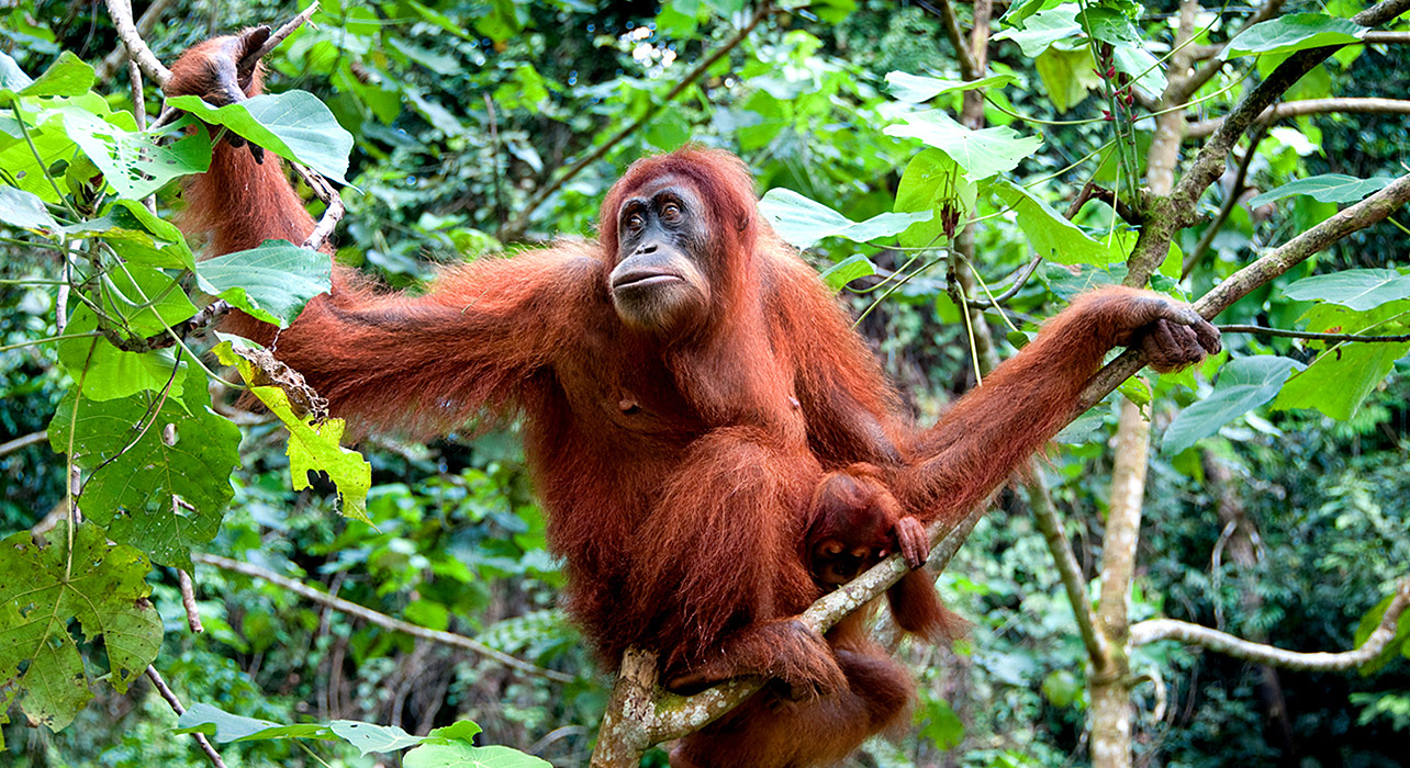 Cute Baby Pets Live Wallpaper Download Borneo Expedition Itinerary Amp Map Wilderness Travel