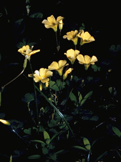 Large yellow wood sorrel