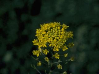 Tansy-mustard