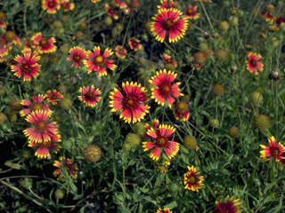 Firewheel, Indian Blanket