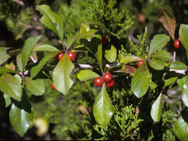Holly Tree Botanical