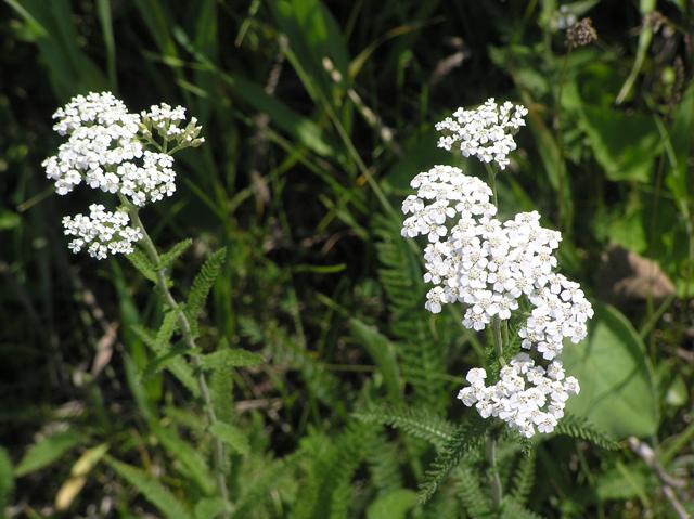 Achillea millefolium (Common yarrow) #26288