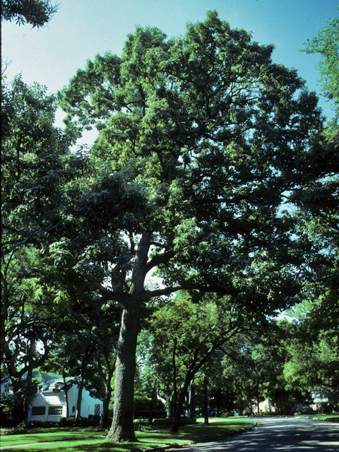 Picture of Chinquapin Oak