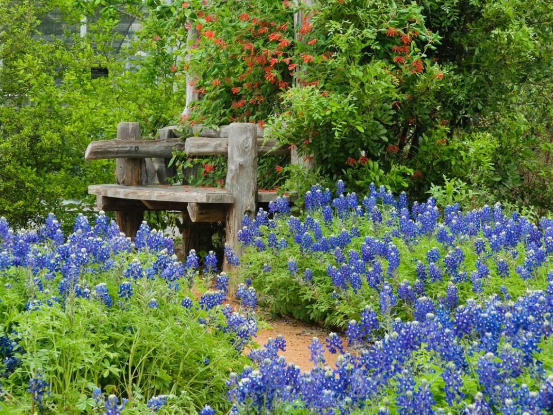 How To Grow Texas Bluebonnets Lady Bird Johnson Wildflower Center