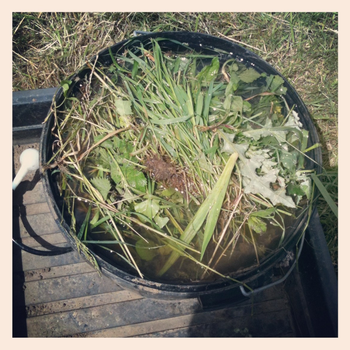 making a plant feed from weeds