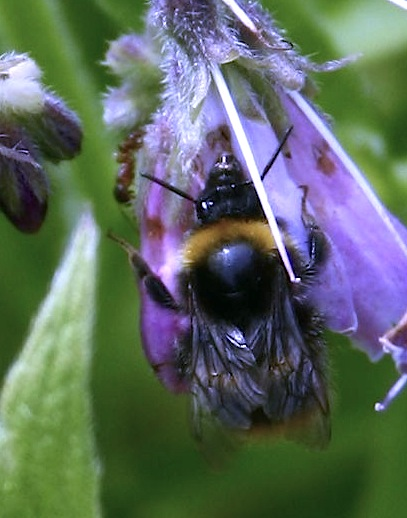 bees on comfrey