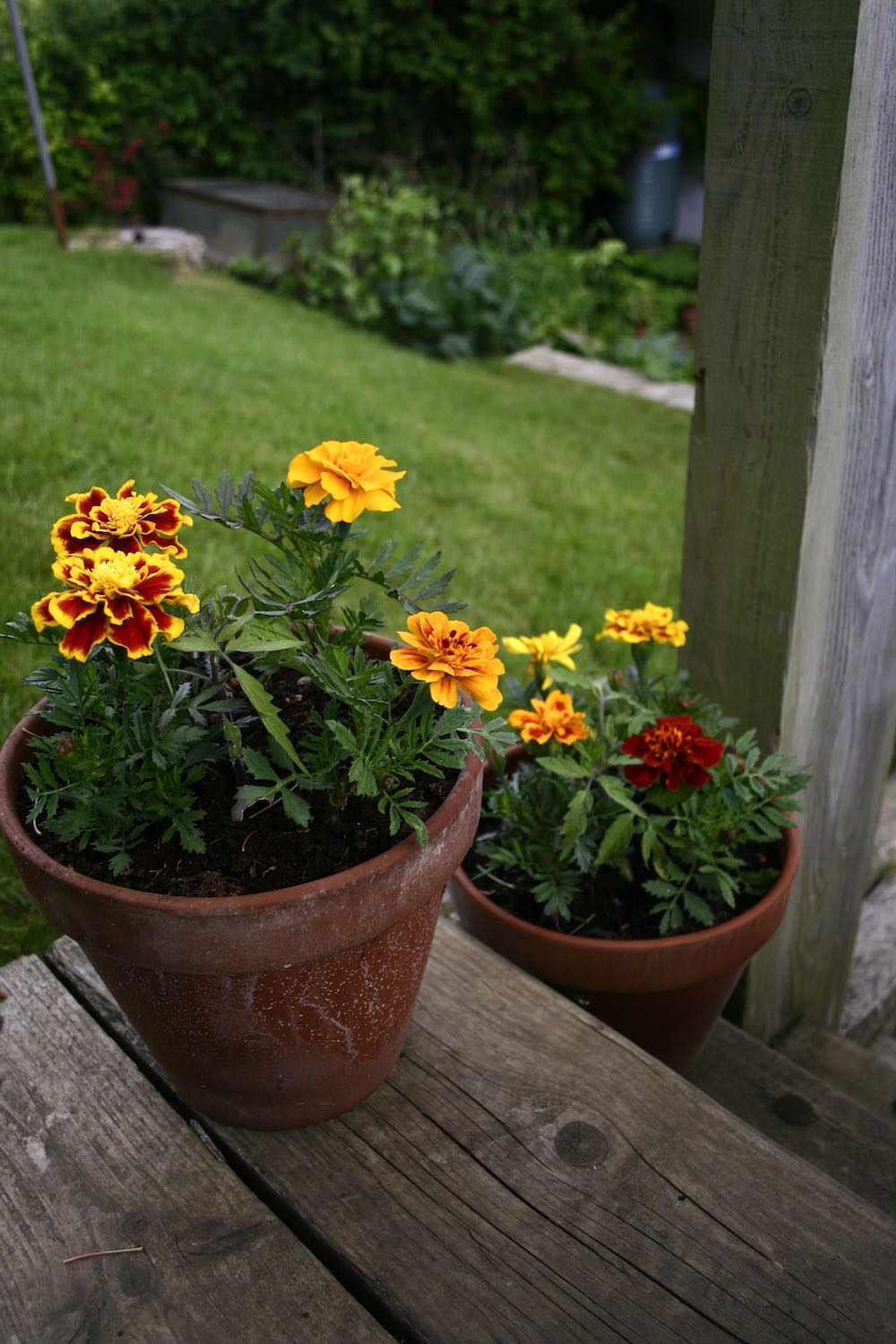 pots french marigolds