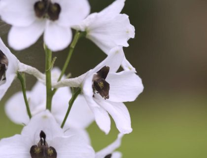 white flowers delphinium