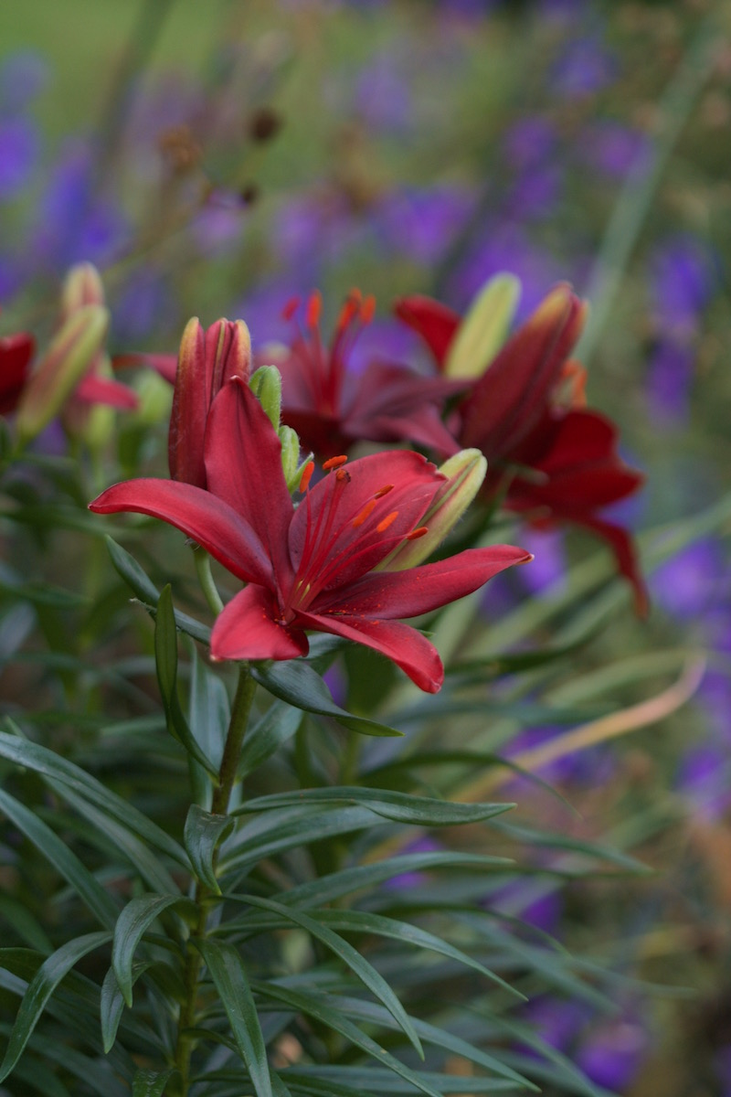 asiatic lily red