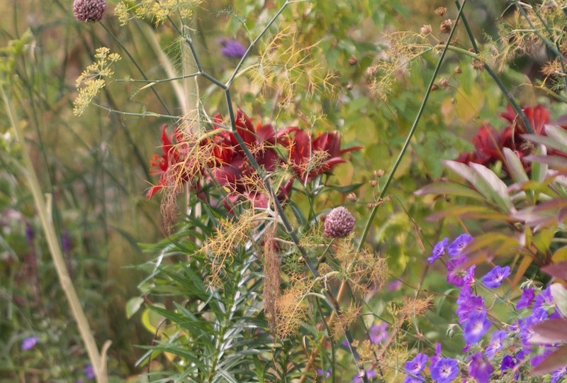 red lilies herbaceous