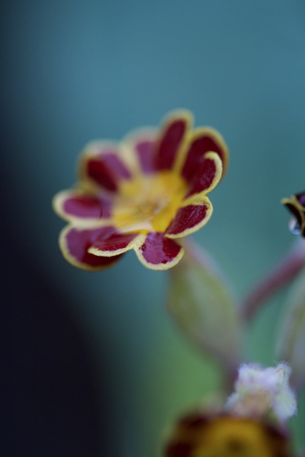 gold laced polyanthus beeches strain