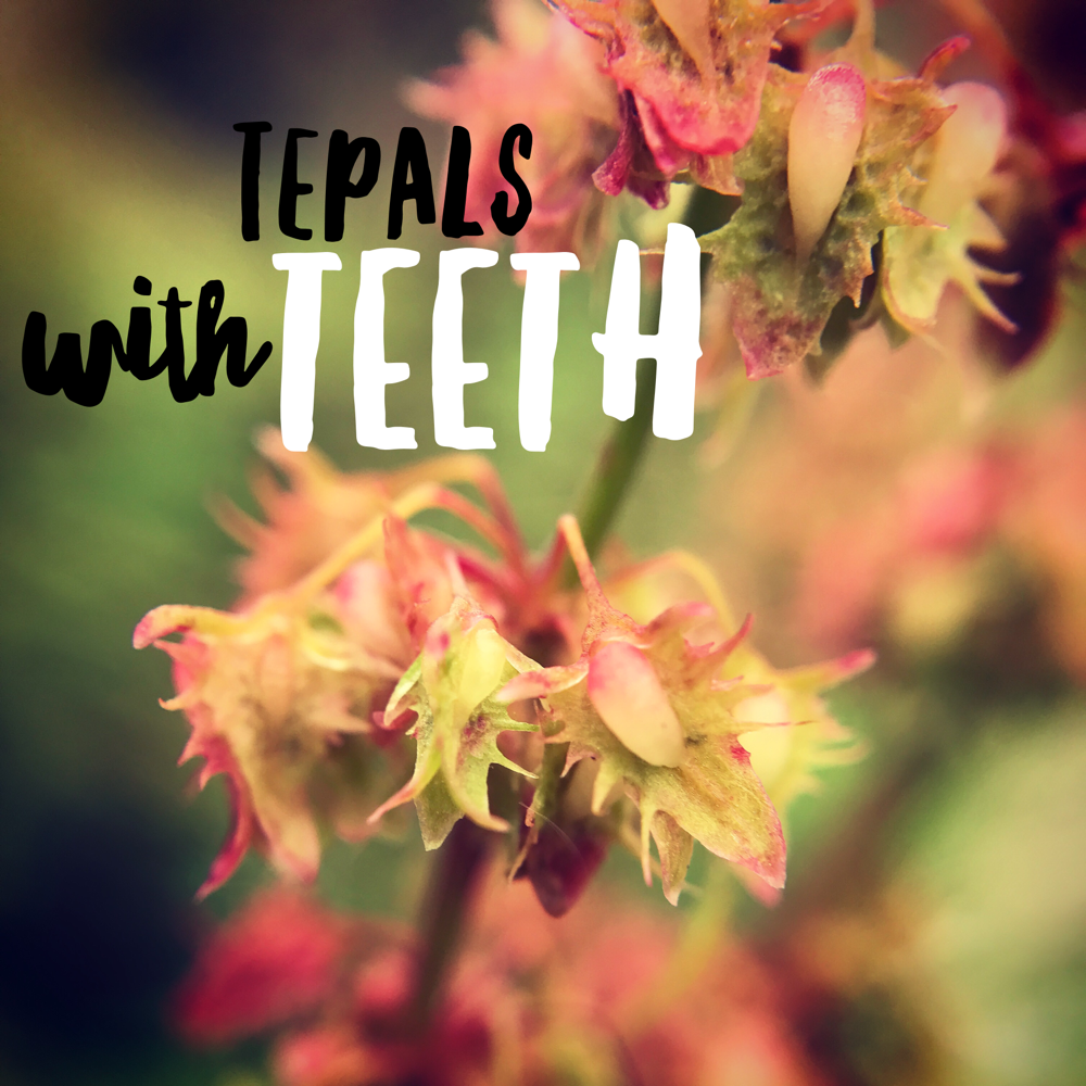 Dock tepals teeth