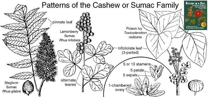 Anacardiaceae: Cashew or Sumac Family. Identify plants